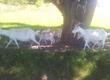 Kozy Z powodu likwidacji hodowli sprzedam