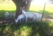 Sprzedam kozy, koza, kozły  2