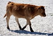 Cielaki i opasy Oferuję w ciągłej sprzedaży: - byczki i jałówki...
