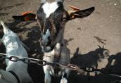 Sprzedam kozy pilnie!