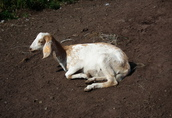 Sprzedam kozę anglonubijską!