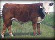 Cielaki i opasy Kupię odsadki ras mięsnych Limousine