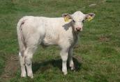 Bydło Charolise 2 krowy + cielak