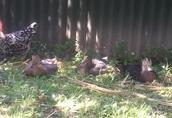 SPRZEDAM kaczki staropolskie 3