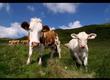 Byki na ubój SKUPUJEMY: -buhaje, krowy, ja