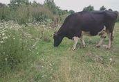 lubelskie: Sprzedam Krowę mleczną