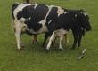 Krowy Sprzedam krowę z jałówką. Krowa