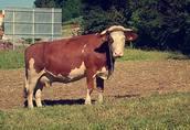 Sprzedam krowę