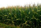 Kukurydza z pnia