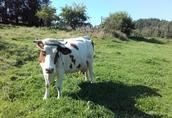 Krowa młoda, zacielona 2