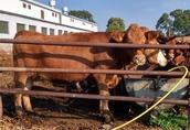 Sprzedam krowy i jałówki mięsne cielne
