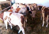 Byki, odsadki(240-350kg)ras mięsnych, simental, mieszanki