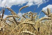 Łubin trwały Firma BHZ Agromat kupi ekologiczne oraz konwencjonalne...