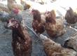 Kury nioski kury 8 zł sztuka, kaczki od 10