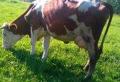Krowa Mleczna Zacielona sprzedam Pilnie