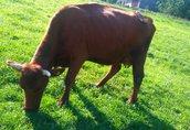Krowa z cielęciem PILNE