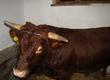Byki rozpłodowe Byczek rasy dexter ma 16 miesi