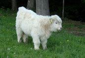 Bydło rasy highland szkocka górska jałówka jałówki byczki