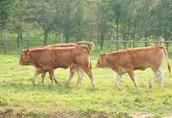 Limousine jałówki odsadki - certyfikat ekologiczny