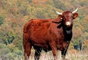 Krowa salers 100% sprowadzona z Niemiec