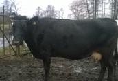 sprzedam krowę na wycieleniu
