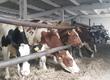 Krowy W dniach 27-28 zapraszamy na nasze