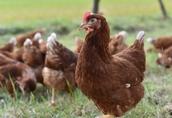 Kury nioski - znoszące jajka