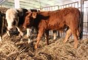 Byczki Mięsne i mieszne