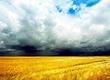Pszenica KUPIĘ: pszenicę i inne zboża. Co