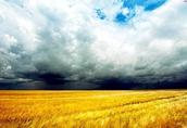 Pszenica Kupię: pszenicę, żyto, pszenżyto, owies, jęczmie...