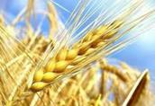 Pszenżyto Kupię: pszenicę, żyto, pszenżyto, owies, jęczmie...
