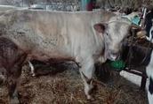skup zwierząt u rolnika w gospodarstwie