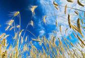 Żyto Kupię: żyto, pszenżyto i inne zboża. Płatność przy...