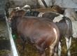 Byki na ubój byki mięsne 80 sztuk, krzyżówki
