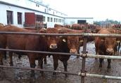 Sprzedam byczki mięsne odsadki 25 szt.