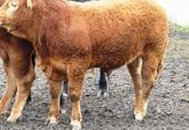 Buhaj rozpłodowy, bydło mięsne Limousine - limuze z genetyką francuską  2
