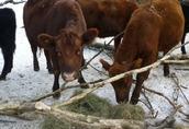 Krowy i jałówki rasy Angus cielne.