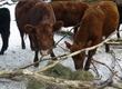 Krowy Witam Mam do sprzedania cielne