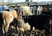 Cielaki i opasy Byczki odsadki z gospodarstwa, waga 160kg - 240kg...