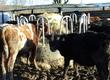 Cielaki i opasy Byczki odsadki z gospodarstwa