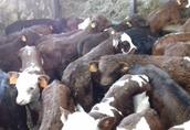 Sprzedam Byczki Mięsne Cielęta Jałówki Transport Gratis Na Terenie