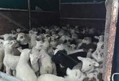 Jagnięta, owieczki, baranki do dokarmiania
