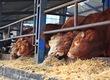 Byki na ubój zakłady mięsne bm kobylin zak
