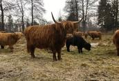 Highland Stado rozchodowe 10 jałówek rocznych! EKO