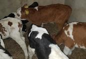 Byczki mięsne i ncb 10 sztuk