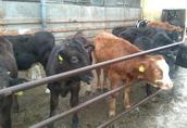 Byczki mięsne żarłoki  4
