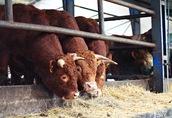 Nawiążę współpracę z terenowymi organizatorami skupu bydła