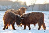 reproduktor byk highland cattle szkocka rasa wysokogórska
