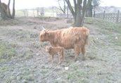 Witam sprzedam stado krów rasy szkockich