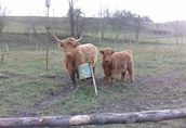 Witam sprzedam stado krów rasy szkockich 1